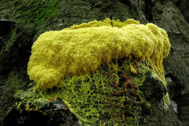 licheni myxomiceti simbionti